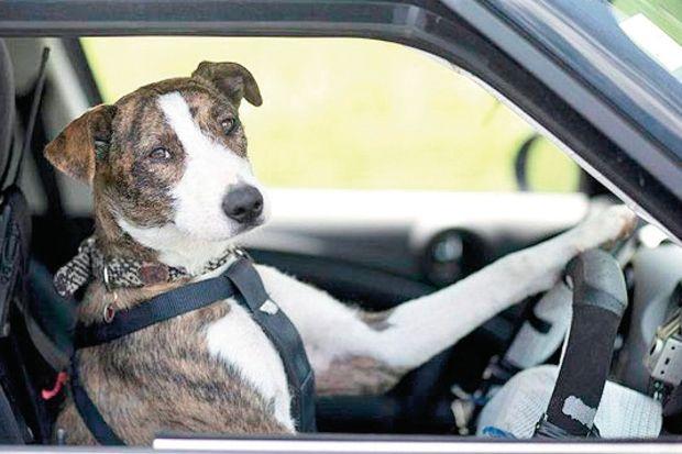 Şoför köpekler!