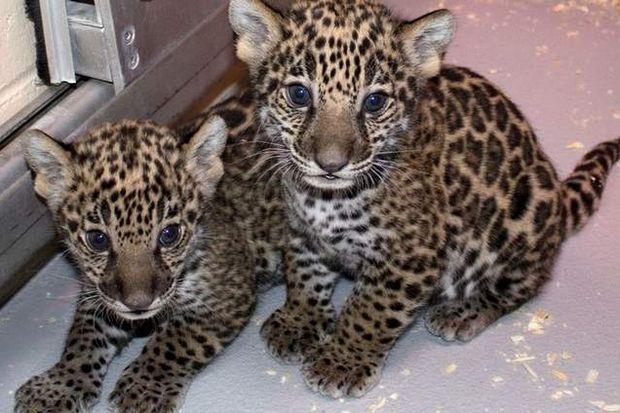 Yavru jaguarlar medyayla tanıştı!