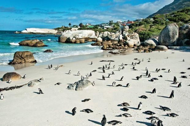 Simon's Town: Dikkat penguen çıkabilir!