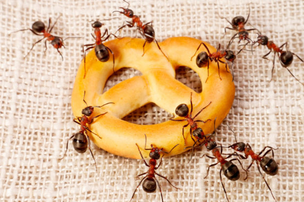 Karıncaları öldürmeden nasıl ortadan kaldırırsınız?