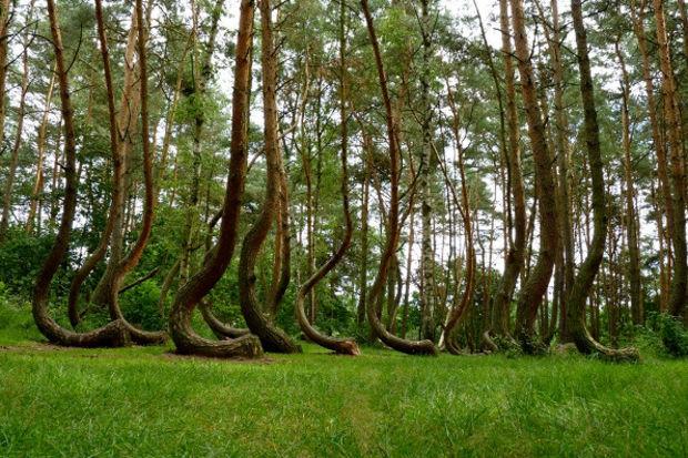 Eğri ormanı görünce çok şaşıracaksınız!