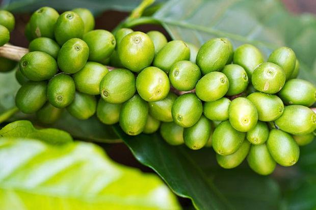 Yeşil kahveyle diyetsiz, egzersizsiz zayıflayın