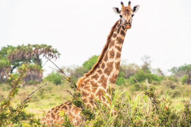 Tanzanya'da safari...