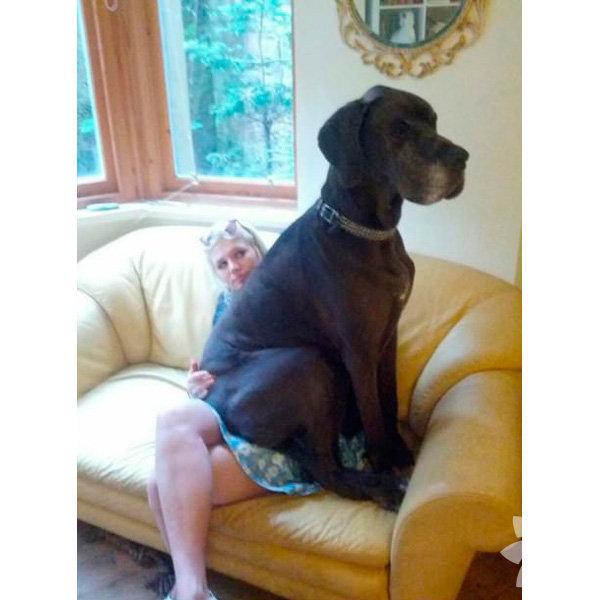İnsanların kucağına oturabilecek boyutta olduğunu sanan bir köpek.