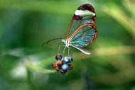 Cam kanatlı kelebekler