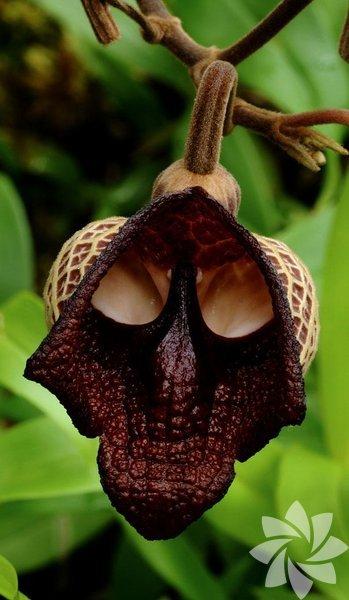 Darth Vader (Aristolochia Salvadorensis)