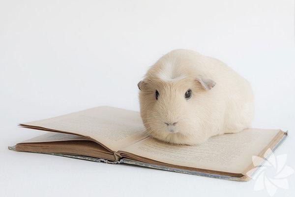 Sosyal medyadaki takma adı Lieveheerbeestje olan Booboo,1 kg ağırlığında ve 2 yaşında bir hamster.