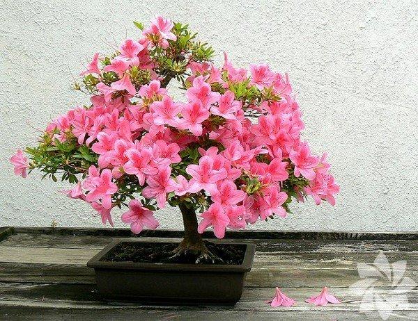 Bonsailer çiçek açtı...