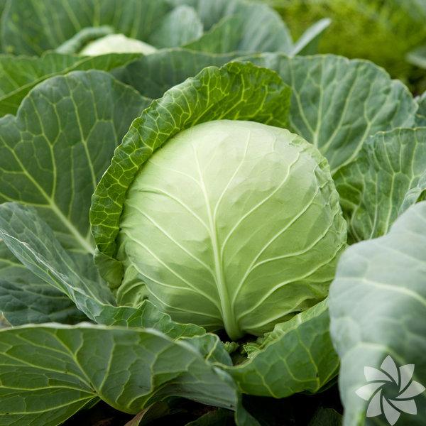 B, C ve E vitaminleri ile potasyum, kalsiyum, kükürt, demir, bakır ve  magnezyum gibi mineralleri içerir. Lahana, kanser hücrelerinin  çoğalmasını engelleyen kimyasal bir madde içerir. Beyaz, kırmızı ve kara  lahana gibi türleri vardır.