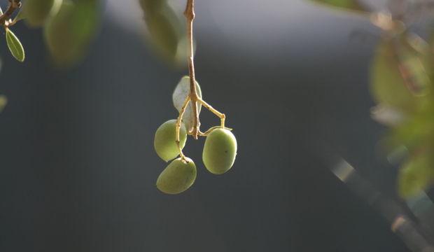 Zeytine ağıt