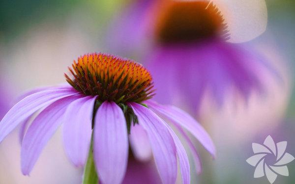 Ekinezya Bitkisel tedaviden ana akım eczacılığa kadar, bu mor çiçek yüzyıllardır çok amaçlı bir tedavi aracı olarak kullanılıyor. Son zamanlarda soğuk algınlığı ve grip tedavisi konusunda popüler bir hale geldi ve araştırmalar da etkisini destekliyor. En iyi yöntem, hastalık tam kapasite görüldüğünde kullanmaktır. Herhangi bir ek ilaç, tedavi kalitesini değiştirir; dolayısıyla öncelikle küçük bir araştırma yapmak gerekir.