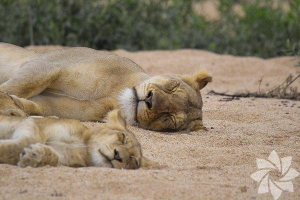 Anne aslan ve bebeği öğlen uykusunda...