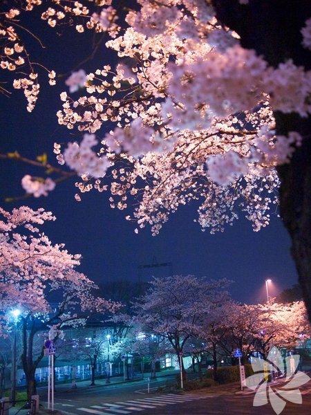 Baharın geldiğini mijdeleyen kiraz ağacı çiçeklerini Nisan aylarında açar.