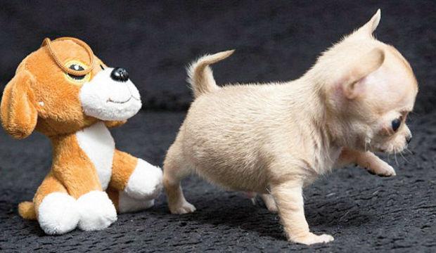Dünyanın en küçük Chihuahua'sı