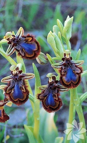Arı orkide