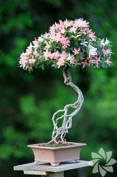 Anavatanı Japonya ve Çin olan bonsai ağaçlarının pembe olanları da renkleri ile herkesin beğenisini kazanıyor.