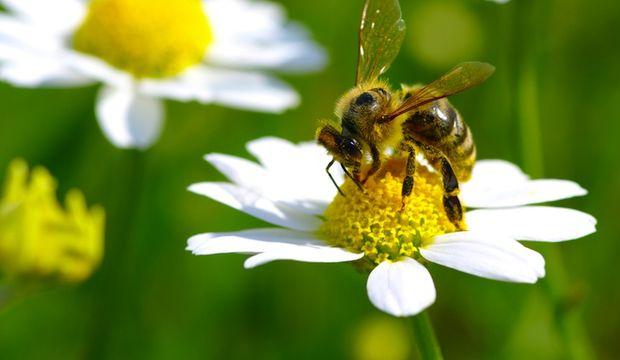 Arılar neden ölür?