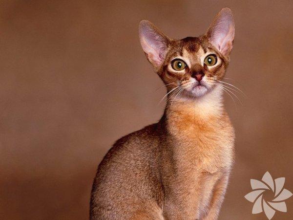 AbyssinianBiraz inatçı özelliği ile bilinen bu kedilerin sahibine karşı oldukça kibar olduğu biliniyor. Kısa tüyleri olan Abyssinian cinsi kedilerin avcılık özelliği bulunuyor.