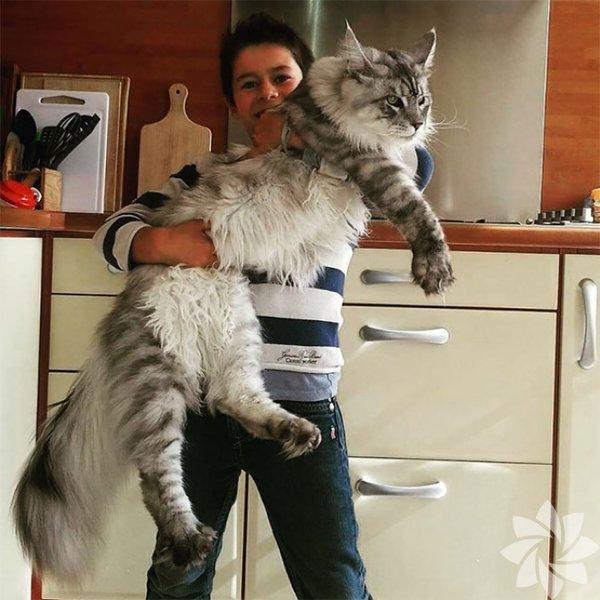 """Her ne kadar minnacık yavru kedilere bayılsak da, bu dev kediler de """"olsa da sarılsak"""" dedirten cinsten!"""