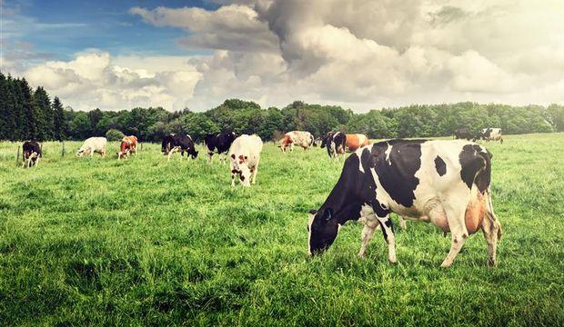 Sütün kalitesi = İneğin yaşamı