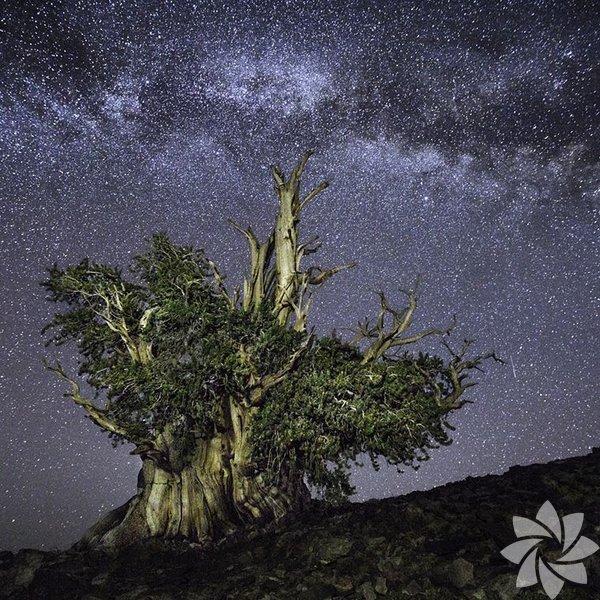 Yeryüzünün en yaşlı ağaçları