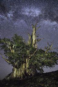 Yaşayan en yaşlı ağaçlar