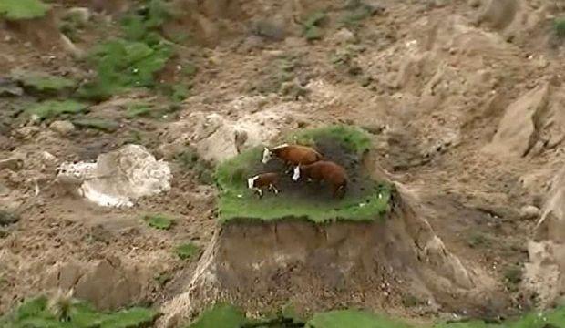 İnekler depremde çöken arazide mahsur kaldı