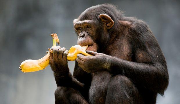 Maymunların bir bildiği var!