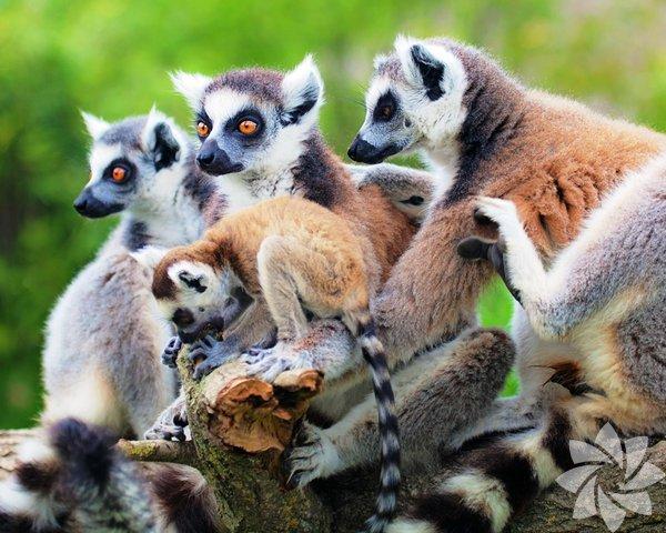 Mauritius, Réunion ve Madagaskar Sihirli adalar üçgeninde bir keşif: Lemurlarıyla, kutsanmış baobab ağaçlarıyla ve rengârenk orkideleriyle doğa tutkunlarının hayali Madagaskar, volkanik Réunion ve mercan resifleriyle çevrili Mauritius…