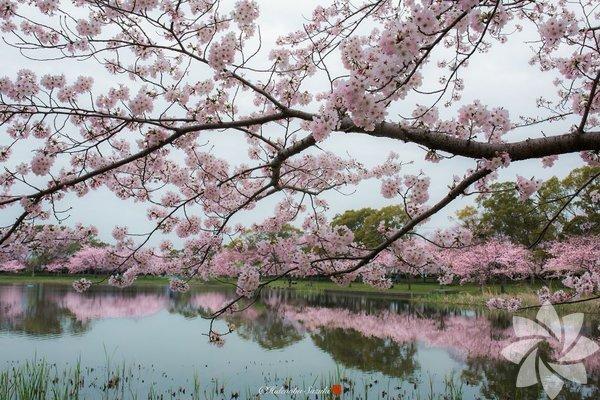 Sakuralar açtı!