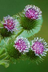 Ciltte botoks etksi yaratan bitki: Dulavrat otu