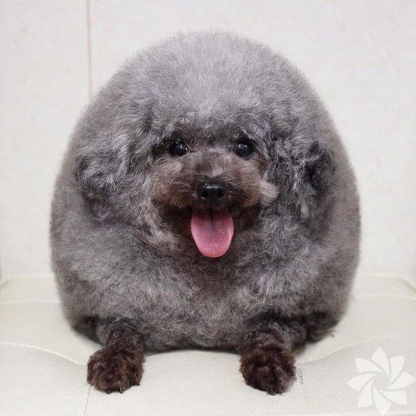 Sevimli köpeklerin tıraşlı halleri