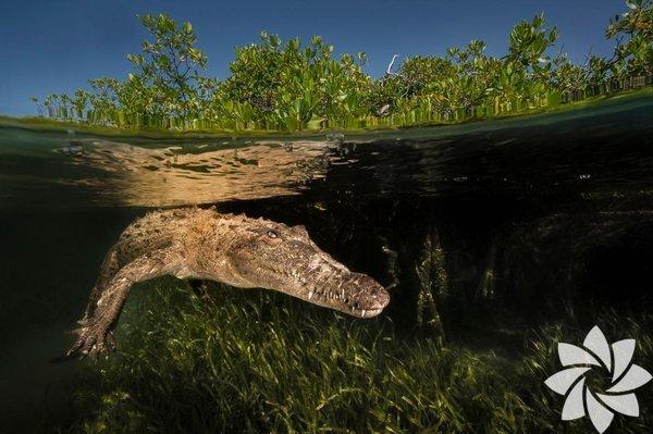 Küba'daki Kraliçenin Bahçeleri Ulusal Parkı'nda gezinen bir Amerikan timsahı