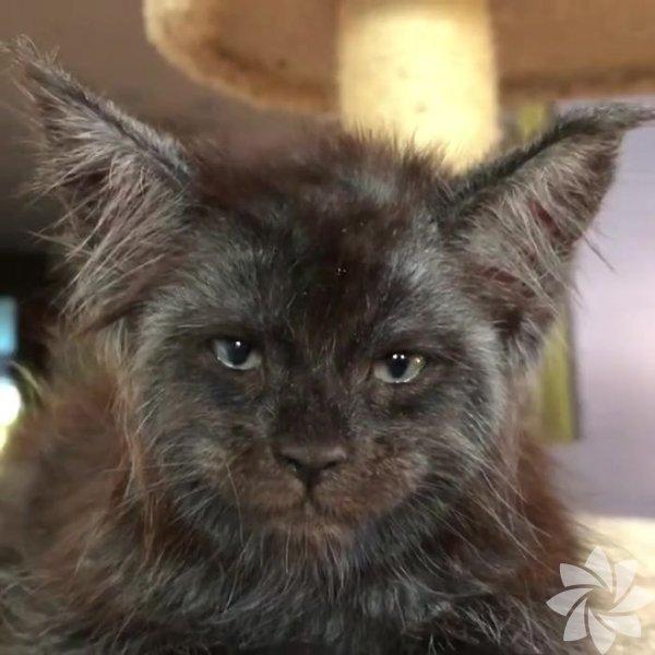 Görenleri hayrete düşüren insan suratlı kedi!