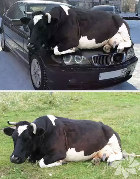 Bu arabaya aslında inek çimlerde uzandığı için bir şey olmadığını söyleyebiliriz.