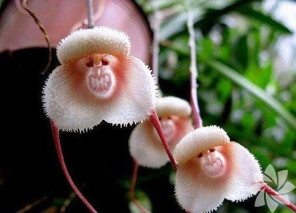 Orkidelerin ortasını küçük maymuncuklara benzeten bir biz değiliz değil mi?