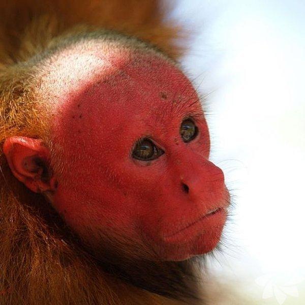 Kel Uakari maymunu kırmızı yüzüyle oldukça dikkat çekiyor. Kaynak:instagram.com/the.ethogram