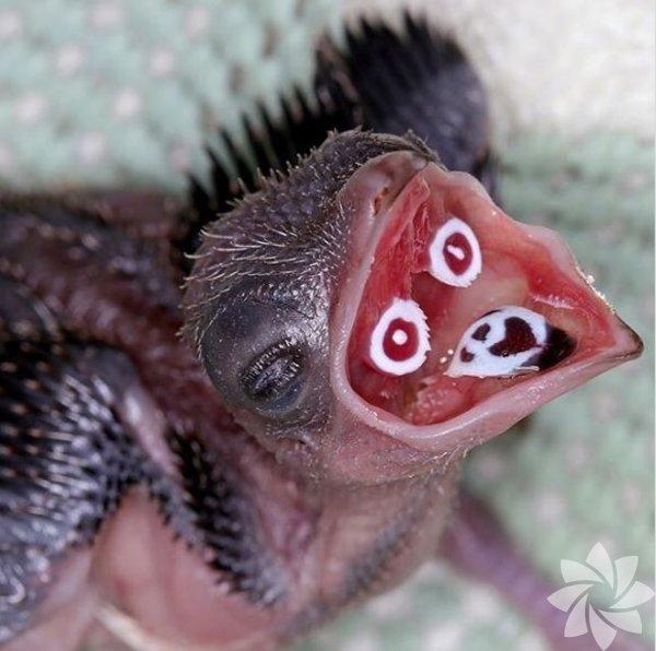 1- Crested Coua kuşlarının yavrularının gagalarının içinde ebeveynleri yiyecekleri doğru yere koyabilsin diye işaretler vardır. Fotoğraf: instagram/@zooborns