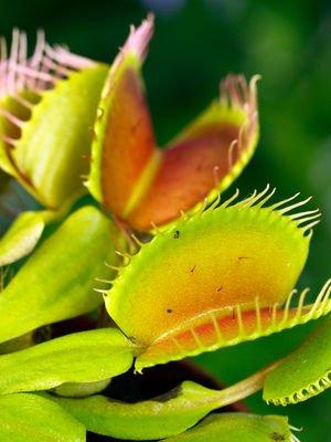 Evde yetişebilen etobur bitki çeşitleri