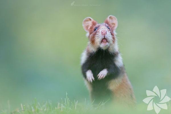 Doğadaki sevimli hamsterlar