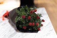 Yılbaşı çiçeği: Kokina