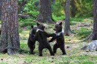 Çalmadan oynar bizim ayılar!